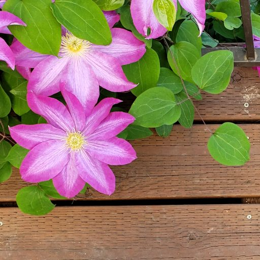 cropped-clematis-2-1.jpg